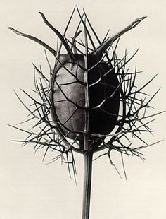 Karl Blossfeldt(カール・ブロスフェルト)/ Nigella Damascene.Spinnenkopt