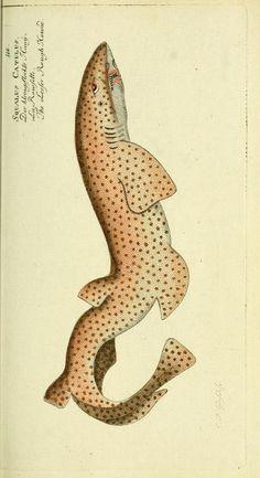 Naturgeschichte der Ausländischen Fische, Marcus Elieser Bloch, 1786.