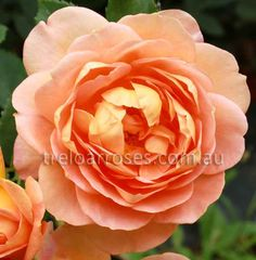 Treloar Roses - Australia's Leading Supplier of Rose Bushes - Garden Roses and Cut Flower Variety Specialist