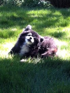 Our pomeranian. 16 years old and still going strong.