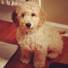 Goldendoodle Puppy for Sale near Indiana, Indianapolis ...