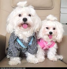 Adorable Maltese Pups • APlaceToLoveDogs.com • dog dogs puppy puppies cute doggy doggies adorable funny fun silly photography