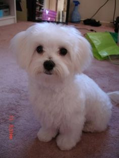 otis's new haircut - Maltese Dogs Forum : Spoiled Maltese Forums