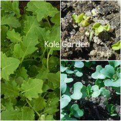 Kale garden is going well! #gardening