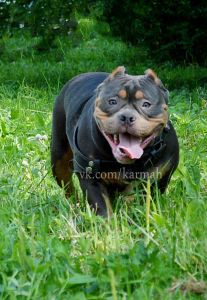 It's only Tuesday, but Holly the American Bully has a big smile on her face. American Bully Pocket, Pocket Bully, American Bullies, Funny Animal Videos, Funny Animals, Wild Animals, Funny Cat Photos, Funny Cats, Puppies For Sale