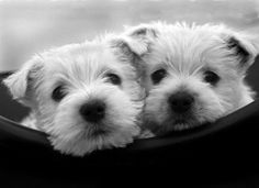 """""""puppy love"""" - Gaaaa, Westies!!!"""