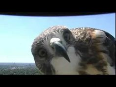 Today's Forecast: A Red-Tailed Hawk With a Major Chance of Cuteness A curious young raptor discovers a news camera in Nebraska. http://www.audubon.org/news/todays-forecast-red-tailed-hawk-major-chance-cuteness