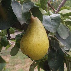 Pear, My Photos, Fruit, Instagram, Bulb