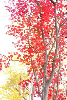 Japanese Maple by Bahman Farzad,