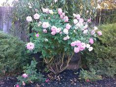 Sweet pink Iceberg rose, flowers pale pink to white