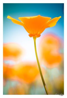 Californian Poppy: Bokeh Orange by Garait David
