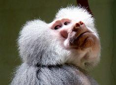 Hamadryas Baboon | Hamadryas Baboon male (Papio hamadryas) {!--망토개코원숭이 ...