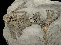 CRINOIDSMajor player in Paleozoic seas until the Permian/Triassic extinction