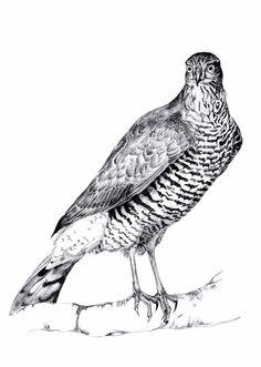 Sparrowhawk, Hannah Harding