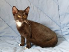 Bellefontaine, OH. Lily. URGENT! Top of Ohio Pet Shelter. Petfinder link included. LILY IS JUST A BABY!!!  She is listed as a Domestic Short Hair Mix. This baby needs to grow up with someone loving and adoring her!!! Could that someone be you???