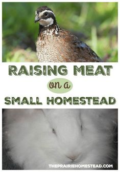 Welcome Heather from The Homesteading Hippy today as she shares her best advice for raising meat on a small homestead. She lives on only of an acre, yet does an amazing job of growing her own food. I'm definitely inspired! We live on a rather small ho Homestead Farm, Homestead Survival, Survival Skills, Urban Survival, Homestead Living, Wilderness Survival, Camping Survival, Survival Prepping, Backyard Farming