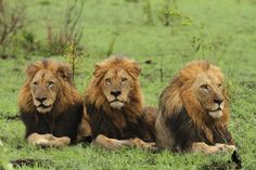 Panthera leo (Makhulu, Pretty Boy and Dreadlocks)