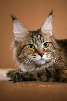 Maine Coon by Helmi Flick, photo copyright Helmi Flick. Looks like my Chaussette! Kittens Cutest, Cats And Kittens, Kitty Cats, Ragdoll Cats, Largest Domestic Cat, Siberian Cats For Sale, American Shorthair Cat, Maine Coon Kittens, Norwegian Forest Cat