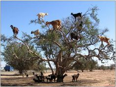 Yes, the goats actually do climb these trees. I've seen video of them. Some climb cliffs too.