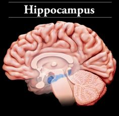 Hippocampus: Located in the medial temporal lobe, the cells in the hippocampus are hypersensitive to oxygen loss or lower blood flow in the case of a brain injury. The hippocampus: is responsible for memory creation and retention; helps us create new memories; helps us orient ourselves in our surroundings; and facilitates our ability to navigate and find our way around the world. Injury to the hippocampus may affect: new memory creation; new memory retention; mood; confusion; and…