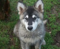 """Adorable dog, Bandit, from Bend, Oregon. Great name for a great """"masked"""" face."""