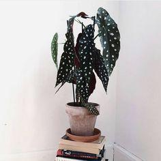 Over unieke planten gesproken: de begonia maculata. Met grote hangende bladeren én witte stippen. Ook iets voor jouw urban jungle interieur?