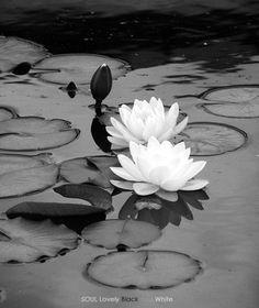 Lotus Flowers   black and white photo