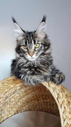 What a beauty #mainecoon