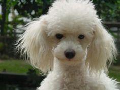 Aren't you a cute poodle face!