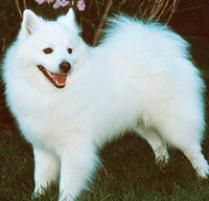 The American Eskimo Dog (Toy) Dog Breed: The American Eskimo is bright, eager to please, lively and fun-loving, in short, an enjoyable and generally obedient ...