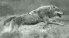Lobo correndo na agua