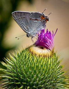 Gray Hairstreak On Thistle By Janis Knight