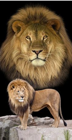 Lion King of the Jungle Wild Life Terry Velour Beach Bath Towel Lion Images, Lion Pictures, Beautiful Lion, Animals Beautiful, Tiger Zoo, Lion Photography, Big Cats Art, Lion Family, Wild Lion
