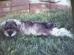 This is me, woowoo, when I was a puppy. I didnt pose at all ... I just love to lay down in the grass like this because it feels so good.  Most puppies do these kind of things.