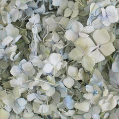Petals for Every Occasion: Quinceaneras and Sweet Sixteens | Flyboy Naturals Snowdrop Hydrangea petals.  www.flyboynaturals.com