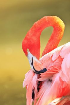 Caribbean Flamingo Phoenicopterus Rube