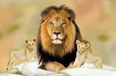 Essay on Autobiography of Lion. This is me, Ethan. I am the ruler of the forest. My area belongs to me. All beings