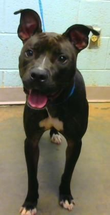 Lubi - URGENT - Dekalb County Animal Shelter in Decatur, Georgia - ADOPT OR FOSTER - 2 year old Female American Pit Bull Mix