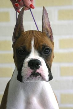 """I've gotten away from cropped ears, but he does have a fantastic face, and from what I can see, a beautiful white chest.  Too many have """"freckles"""" these days.... all that being said -- I love them all!  The best dogs in the world."""