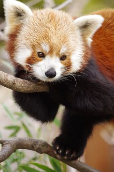 At a quick glance it looks like a demonic fox... Really a Red Panda. Would it be odd if really a red fox and a panda came together and mated to make this creature?