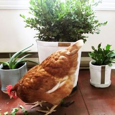 Happy chicken with the Plant Pot Potted Plants, Carrots, December, Planters, Chicken, Vegetables, Happy, Instagram Posts, Red Flowers