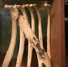 Ribs belonging to a whale, which survived the wound caused by a harpoon. This was calcified by the organism of the animal, remaining attached to the bones until he died, possibly due to another cause. Weird Facts, Fun Facts, Animals And Pets, Cute Animals, Creepy Animals, Funny Animals, Art Noir, Animal Anatomy, Deer Hunting