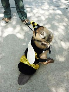 beaver in a bumble bee suit