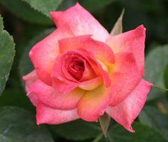 Soroptimist International, A huge name for a large pink blend mini-flora rose. Mild fragrance. (TALL)