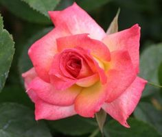 Soroptimist International, A huge name for a large pink blend mini-flora rose. Mild fragrance. (TALL)