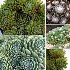 Sempervivum Cobweb Buttons | Succulents at Poppy's Home and Garden Newcastle Newcastle, Garden Plants, Poppies, Succulents, Home And Garden, Buttons, Poppy, Succulent Plants, Poppy Flowers