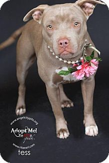 LOS ANGELES, CA - Pit Bull Terrier. Meet TESS, a dog for adoption. http://www.adoptapet.com/pet/12465354-los-angeles-california-pit-bull-terrier