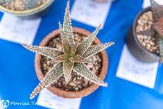 Aloe 'Sea Star'