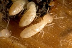 Belton Missouri Pest and Termite Control - Ant, Termite, Rodent, Spider Control Service - 64012 | Mason Exterminating