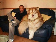 This dog exists. It's a Giant Alaskan Malamute, and oh so gentle. But they do think they are lap dogs! Animals And Pets, Funny Animals, Cute Animals, Large Animals, Huge Dogs, I Love Dogs, Giant Dogs, Small Dogs, Giant Alaskan Malamute